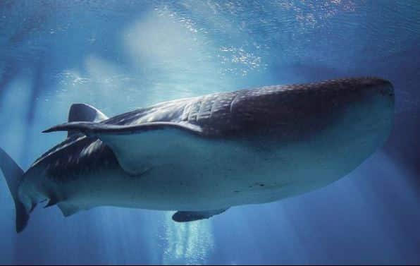 Georgia Aquarium Whale Shark Predators of the Deep