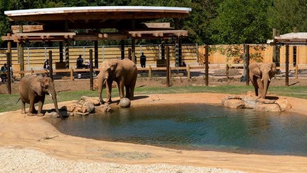 Zoo Atlanta African Savanna Elephants