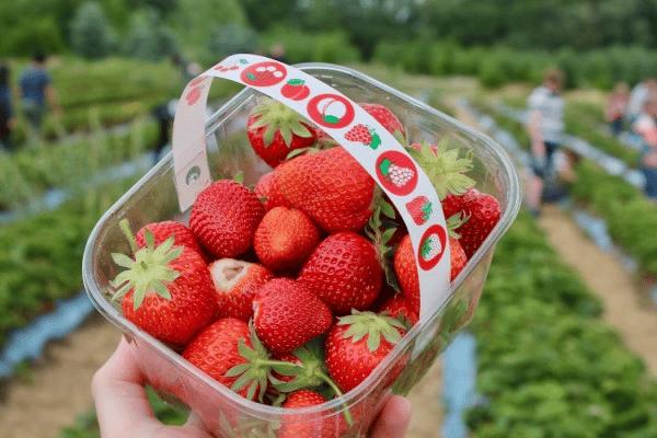 Strawberry Picking Outdoor Atlanta Activities